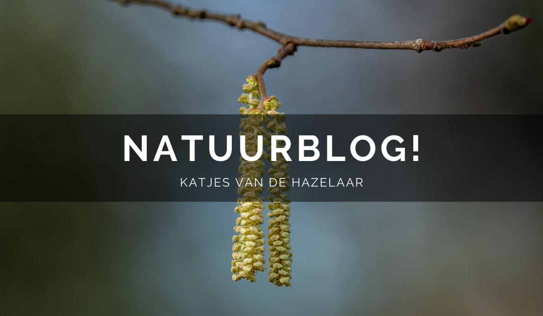 Natuurblog: De katjes van de Hazelaar