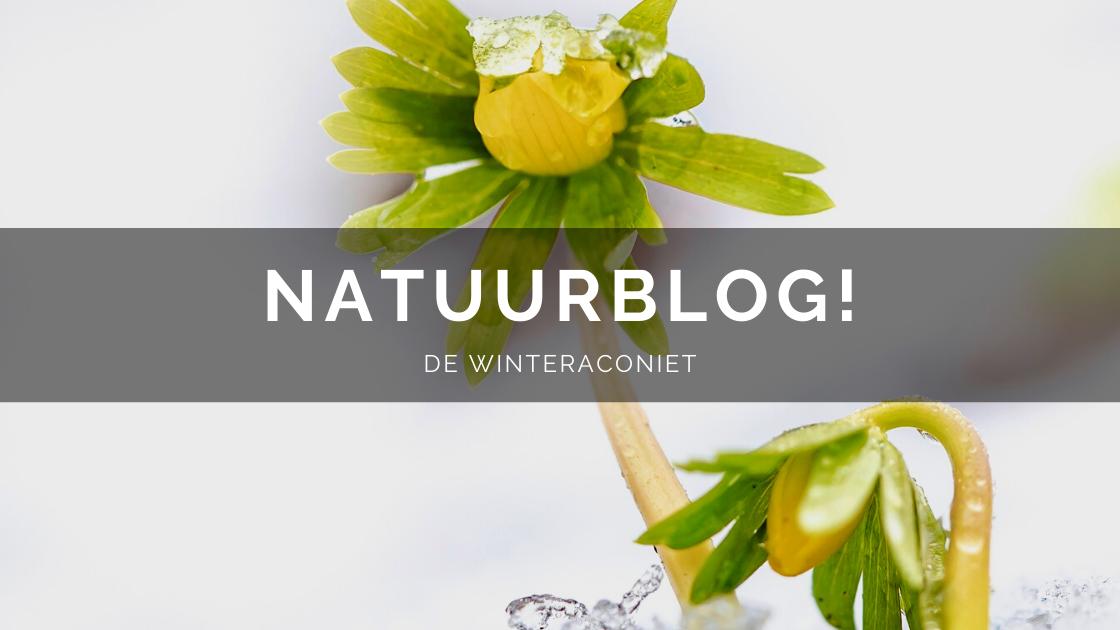 Arnhemsmeiske natuurblog winteraconiet