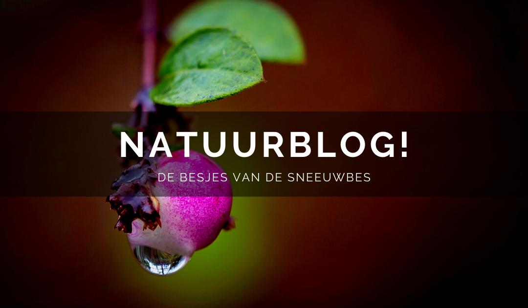 Natuurblog: De besjes van de sneeuwbes