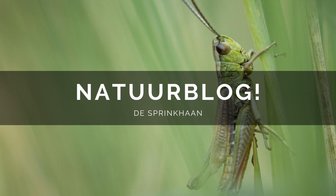 Natuurblog: de sprinkhaan