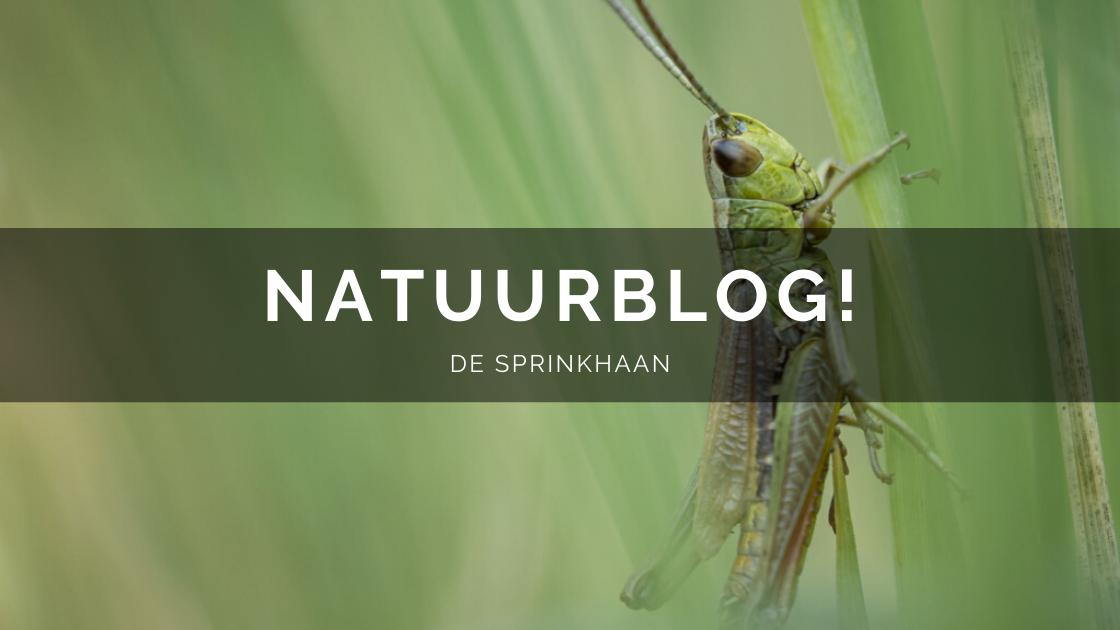Arnhemsmeiske natuurblog sprinkhaan