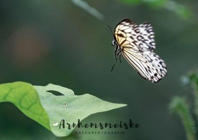 Vlinders | vliegend