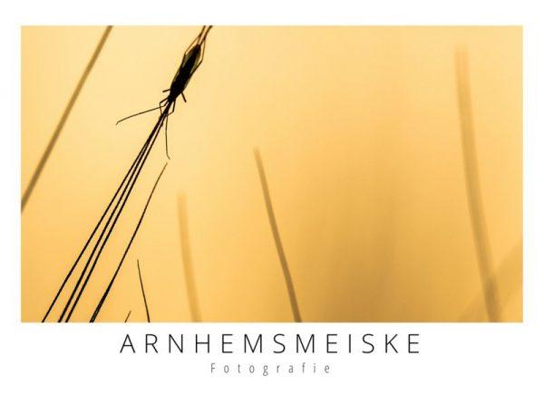 Ansichtkaarten | Insect bij avondlicht | 1