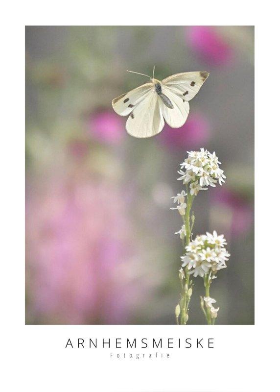 Ansichtkaarten | Vliegende vlinders | 3
