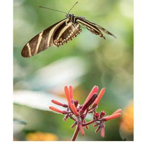 Ansichtkaarten | Vliegende vlinders | 4