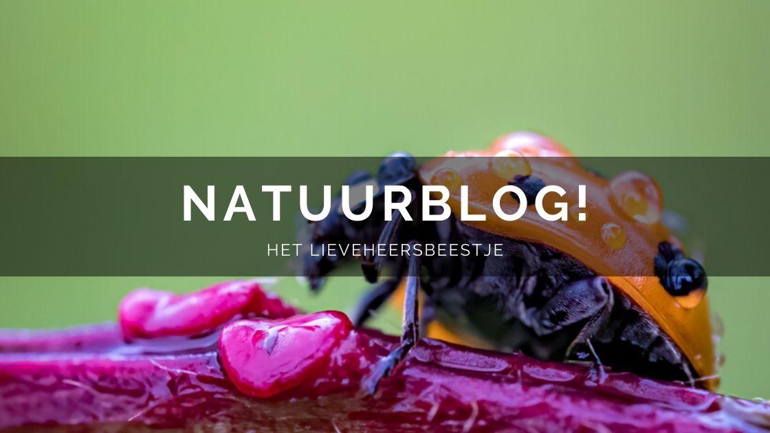 Natuurblog lieveheersbeestje Arnhemsmeiske